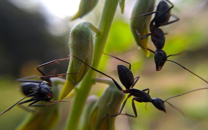 crazy ants on flowers