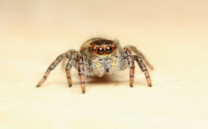 jumping-spider-id