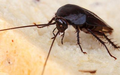 San Antonio Homeowners' Guide To Smoky Brown Roach Control