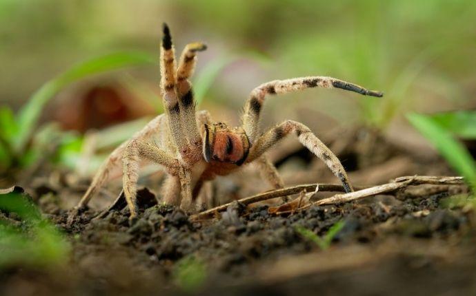 Close up of a venomous spider outside