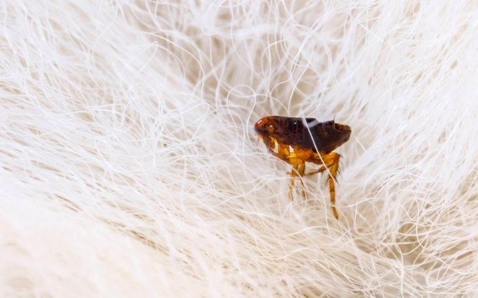 brown flea in dog fur close up