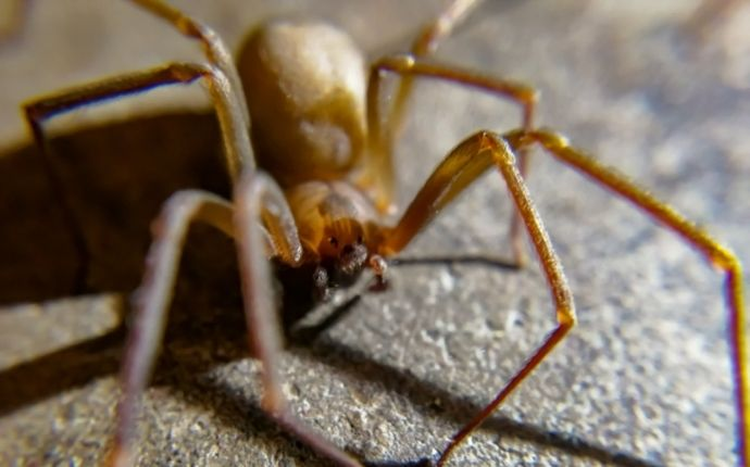 Close up of a brown recluse spider