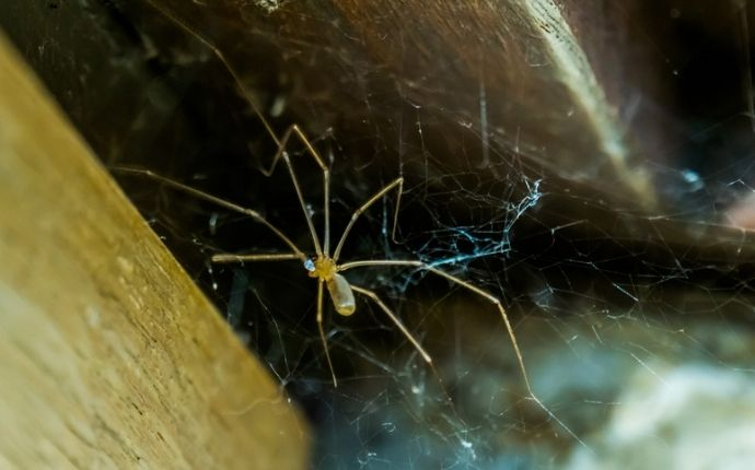 Cellar spider in its web