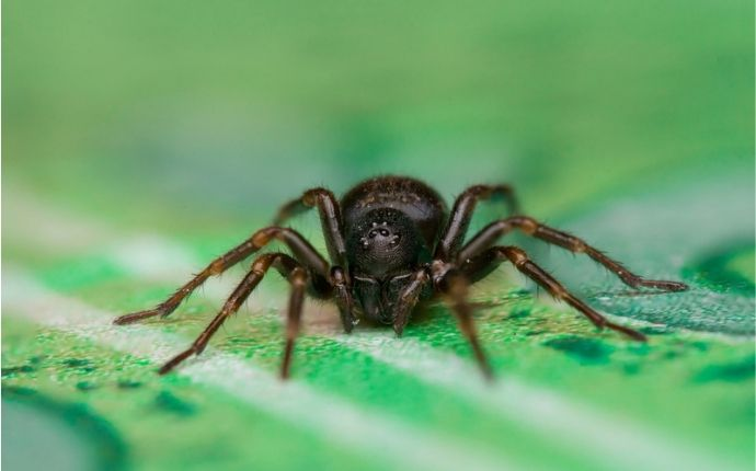 Close up of a black house spider on a green background