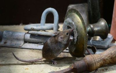 Why Do I Have Mice in My San Antonio Home?