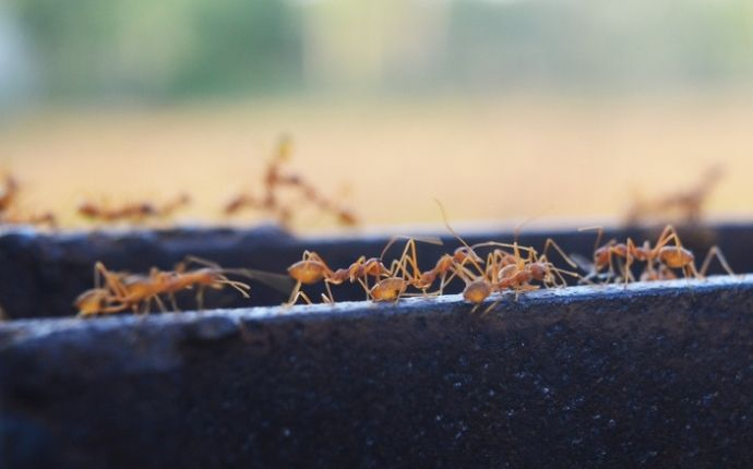 Fire ants walking across a black ledge