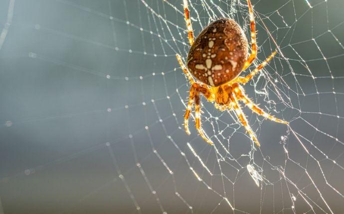 Cobweb spider on a web
