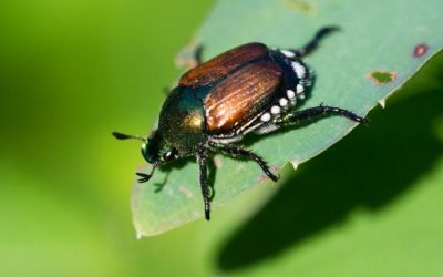 What Do June Bugs Eat? Learn Their Diet, Life Cycle, and How To Stop Them