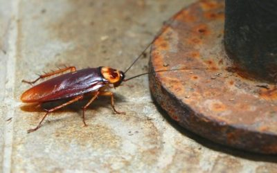 What Every San Antonio Homeowner Should Know About American Cockroaches