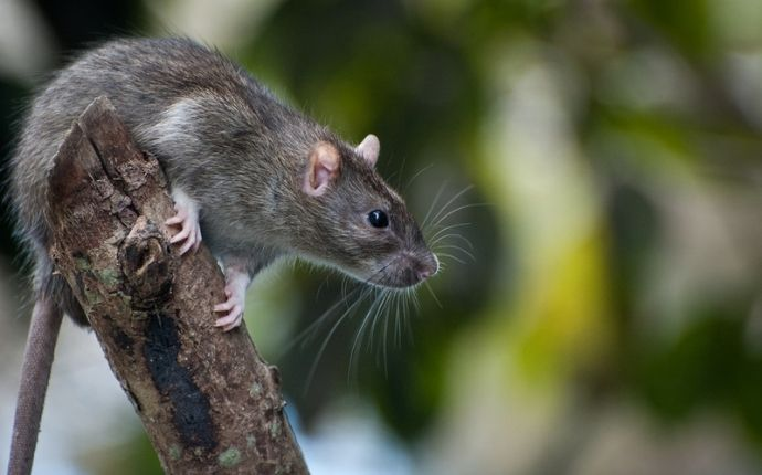 What Are the Most Common Problems Caused by Rodents in San Antonio?