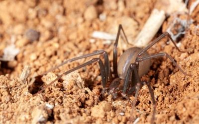 How To Identify Brown Recluse Spiders in San Antonio