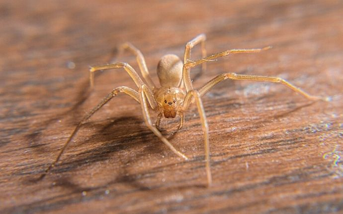 A brown recluse on wood