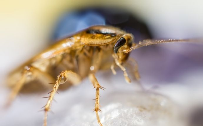 Everything San Antonio Homeowners Need to Know About German Cockroaches