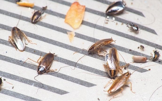 Cockroaches stuck in a sticky trap.