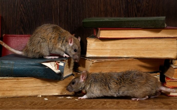 Two rats climbing and chewing on old books.
