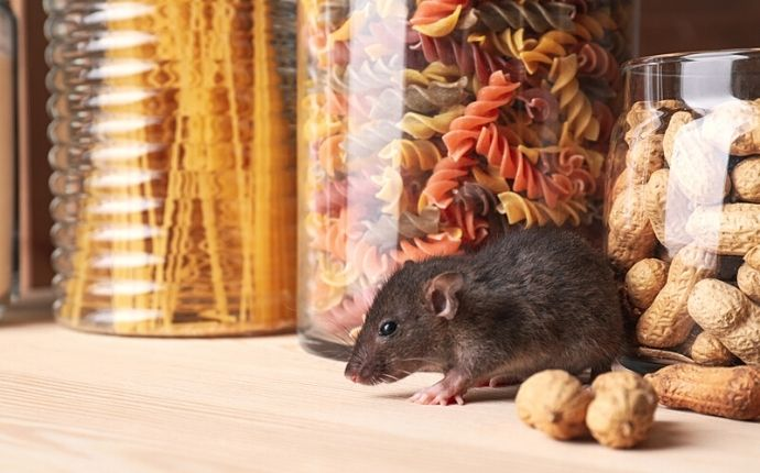 Brown rat on a wooden shelf, in front of containers of pasta and peanuts.