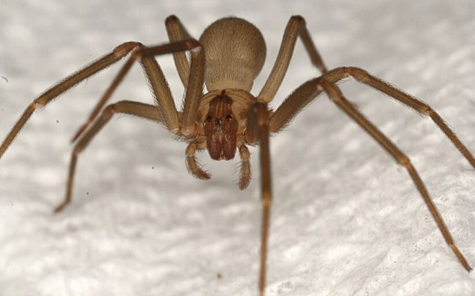 Close up of a brown recluse on white fabric.