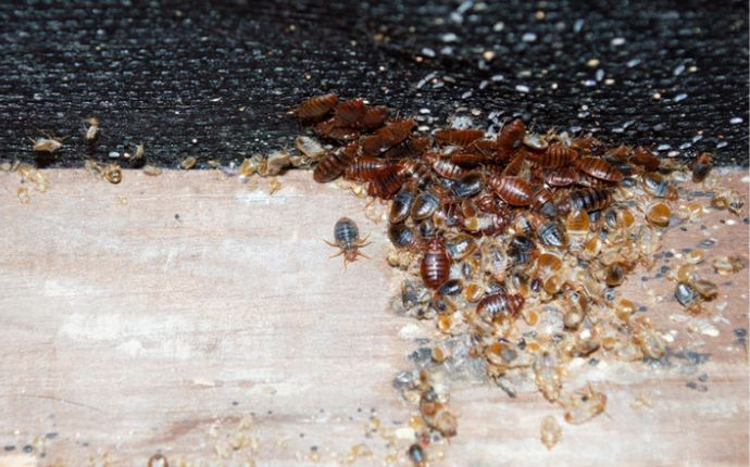 Close up of bed bugs and shed skins.