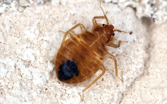 How to Identify Bed Bug Problems in Your San Antonio Home