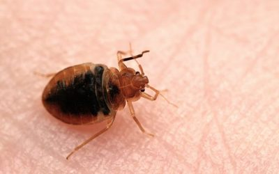 What Attracts Bed Bugs to Your Home and How To Keep Them Out