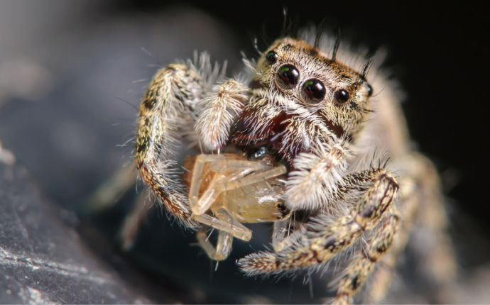 Close up of a jumping spider eating another spider.