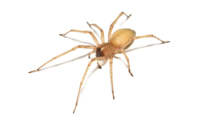 A yellow sac spider on a white background.