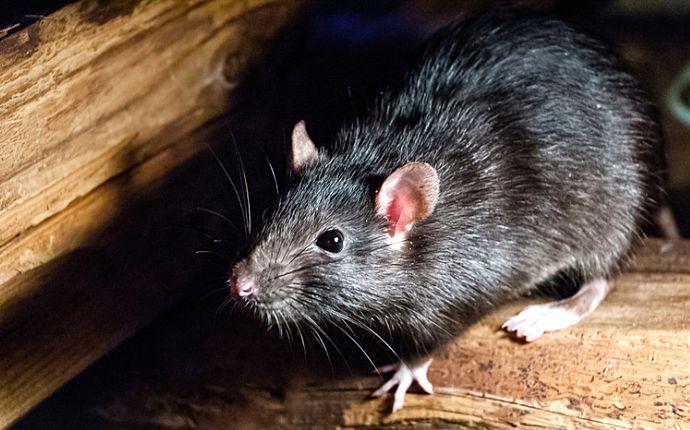 A black rat in an attic.