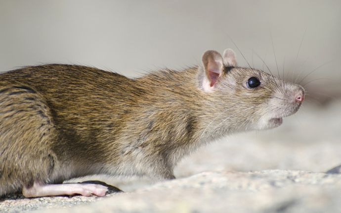 Close-up profile of a marsh rat on cement.