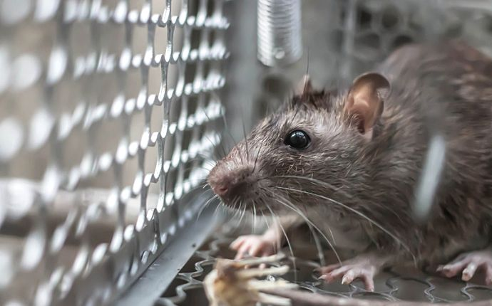 Close-up of a rat caught in a cage.