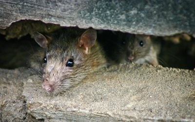 How To Identify Rats in San Antonio: A Guide for Homeowners