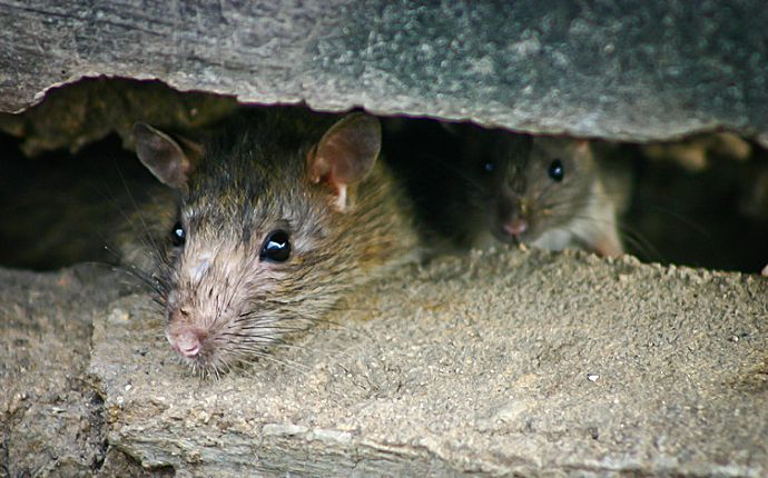 Close up of rats in a drain hole