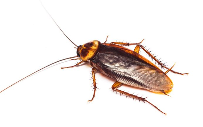 Close up of an American cockroach on a white background