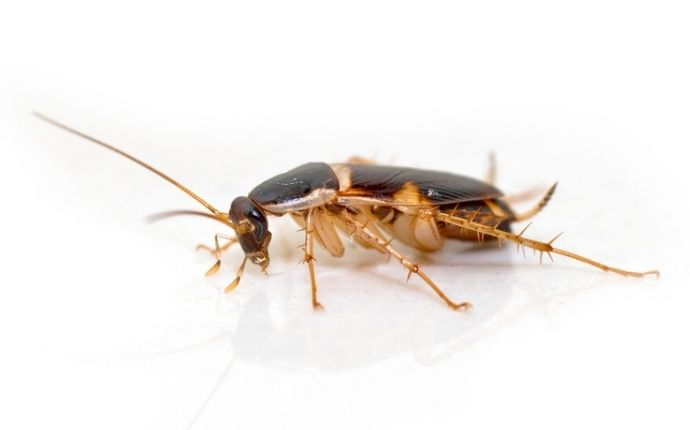 A brown-banded cockroach on a white background