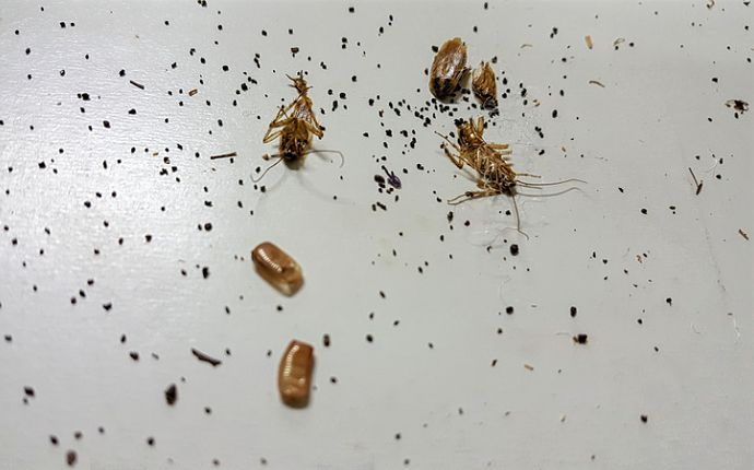 Cockroach droppings, shed skins, and egg cases on a white surface