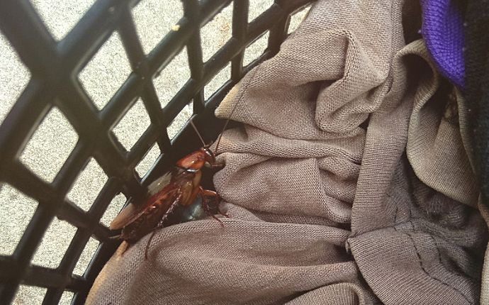 Cockroaches in a laundry basket