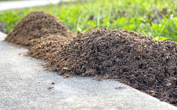 Ant mounds on a lawn overflowing onto cement