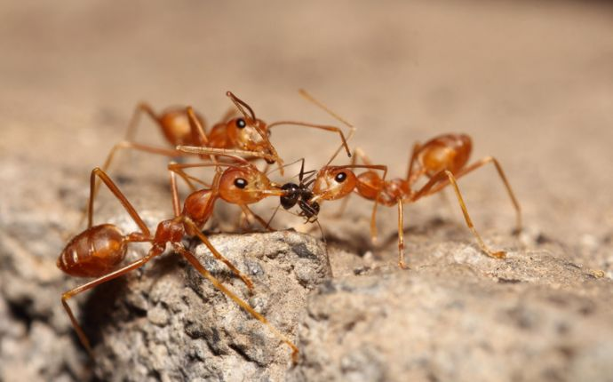 Close up of fire ants feeding