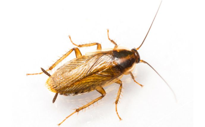 A German cockroach on a white background