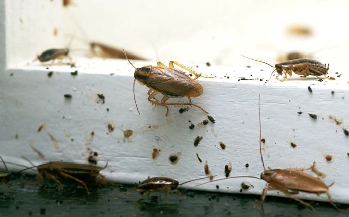 Several German cockroaches and their droppings on a white baseboard.