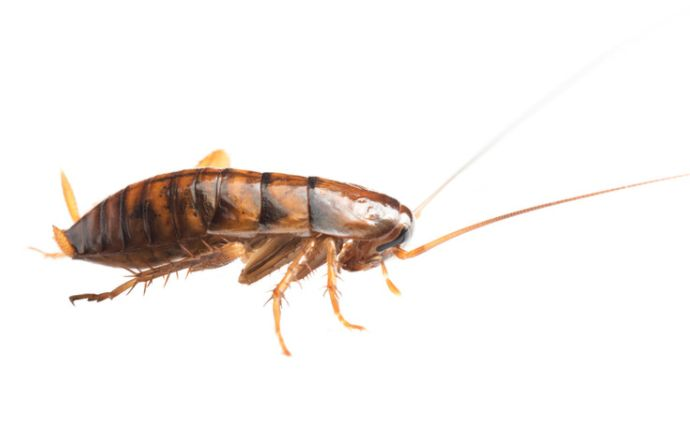 An oriental cockroach on a white background