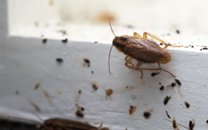 Close up of a cockroach and its droppings on white floorboards