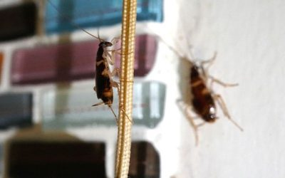 What Every San Antonio Homeowner Needs to Know About German Cockroaches
