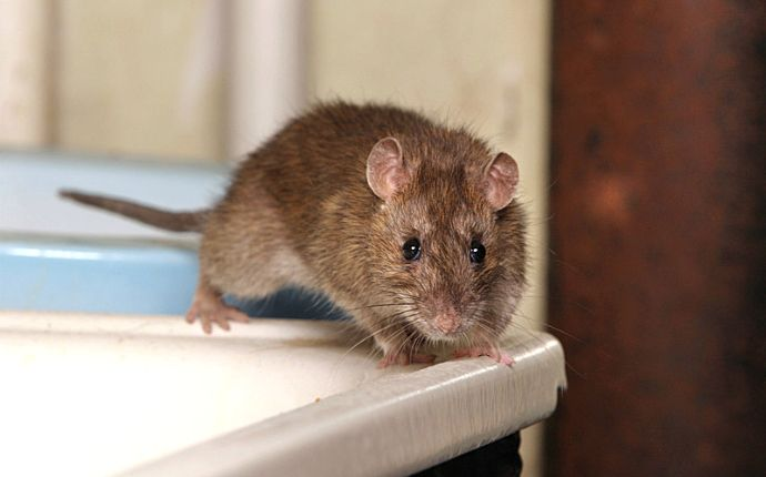 A rat crawling on the edge of a bathroom counter