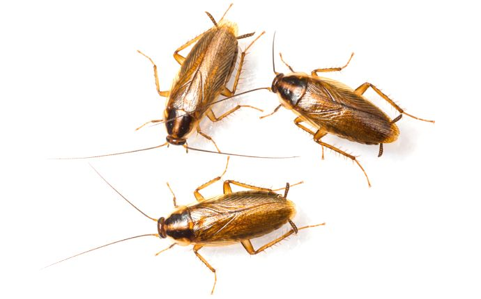 Overhead of three German cockroaches on a white background