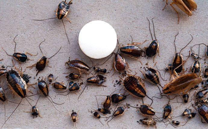 A group of cockroaches next to a round, white bait ball