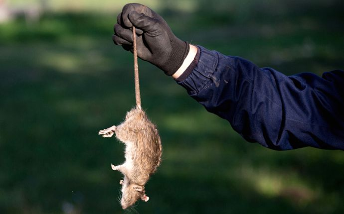 A pest control technician wearing a black glove, holding a rat by the tail.