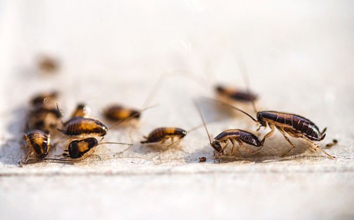 A group of German cockroaches crawling in an egg carton